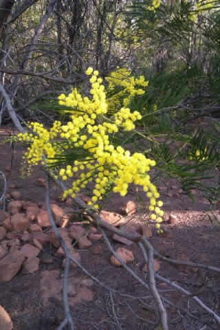 black-wattle-yellow-flowers-seed-on-ground